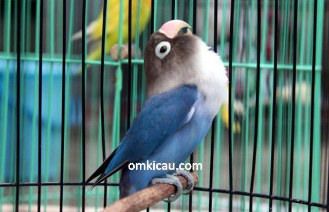 perawatan burung lovebird biru