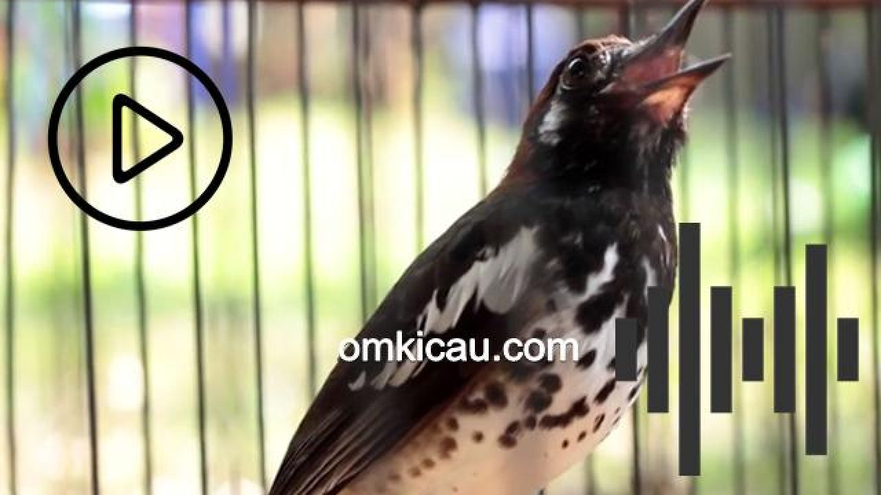 Suara Burung Anis Kembang Ngerol Panjang Untuk Masteran Om Kicau