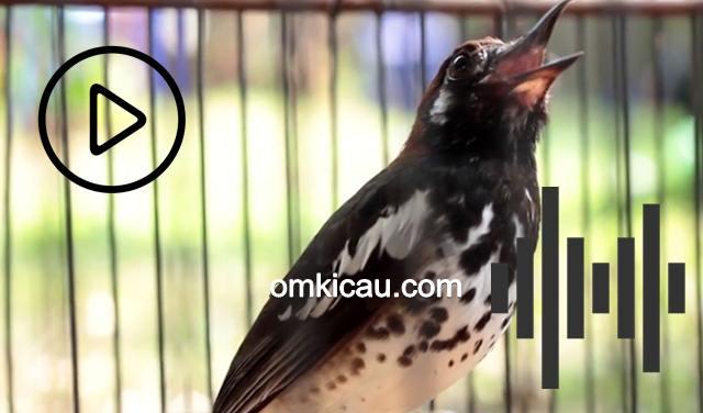 Suara burung anis kembang
