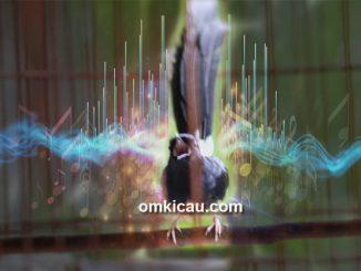 Mengenali beberapa teknik pemasteran burung kicauan