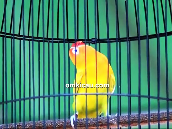 Lovebird Gendewo