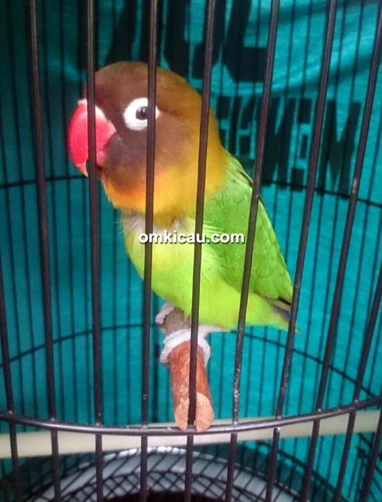 Lovebird Juki