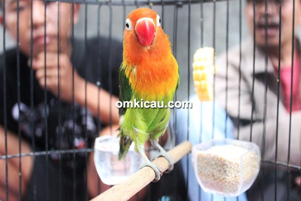 Lovebird Palapa