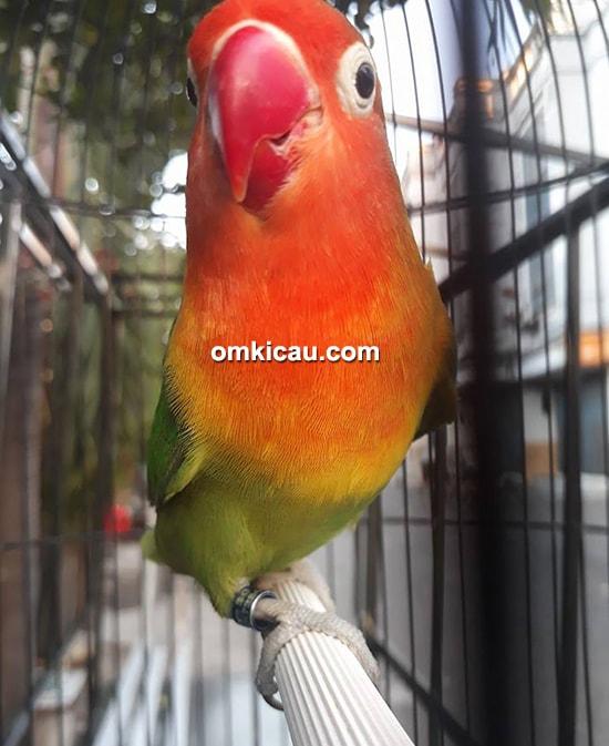 Lovebird Tumbar