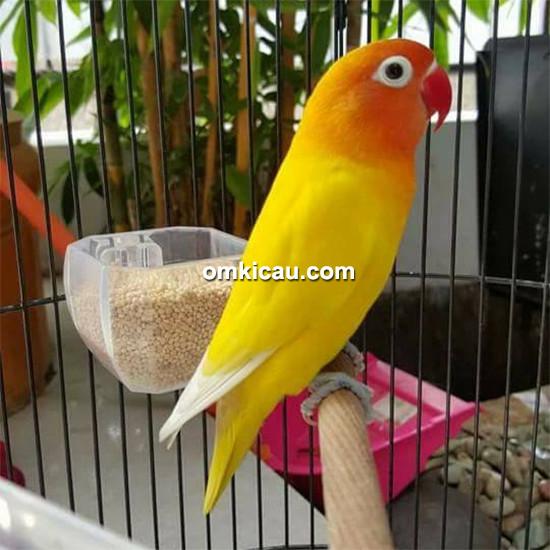 Lovebird Yully