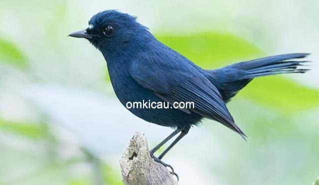 cara merawat burung berkecet biru-tua