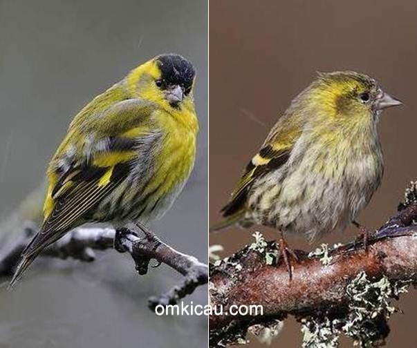 cara merawat burung eurasian siskin