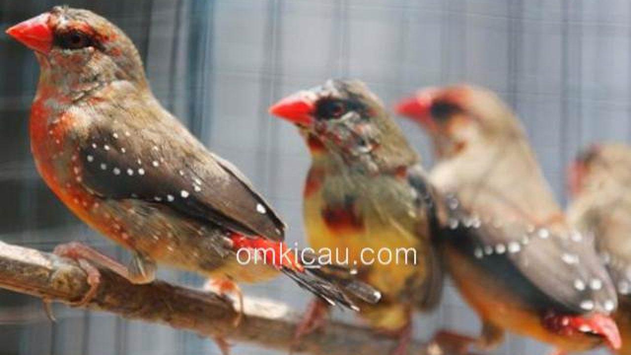 Harga Burung Finch Popular Di Jabodetabek September 2017 Om Kicau