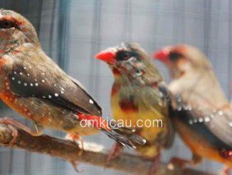 Daftar harga beberapa jenis burung finch