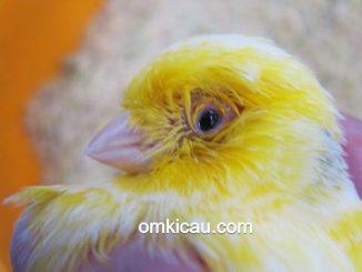 Burung kenari yang mengalami infeksi pernafasan