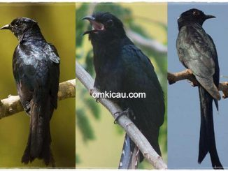 Tiga jenis burung kedasi yang mirip srigunting