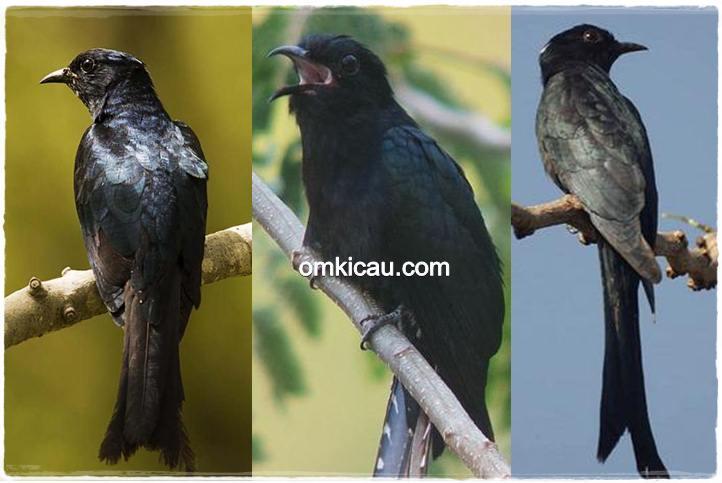 burung kedasi mirip srigunting