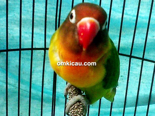 lovebird Prabu