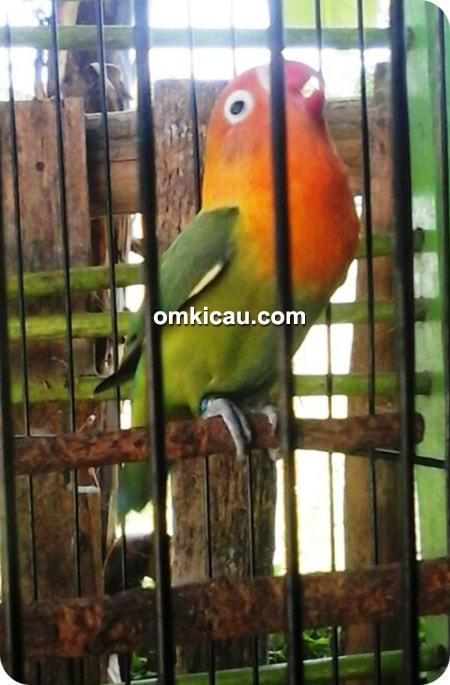 lovebird The Sigit