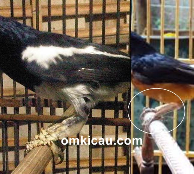 cara membersihkan sisik tebal di kaki burung