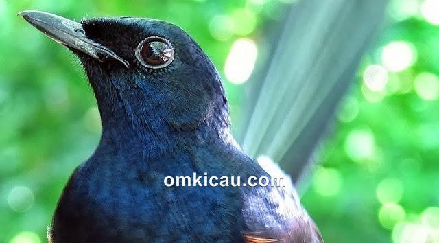mengatasi burung murai batu kurang gacor