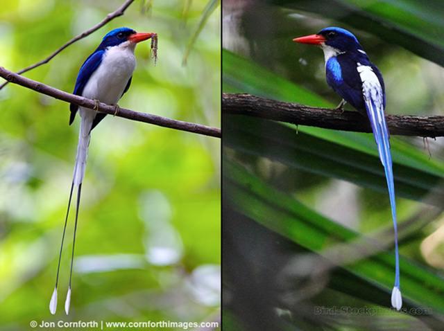 Penampilan burung cekakak-pita biasa yang cantik dengan ekornya yang panjang