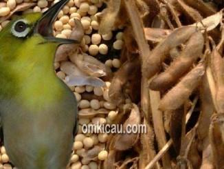 Mengolah kacang menjadi tepung untuk pakan burung kicauan