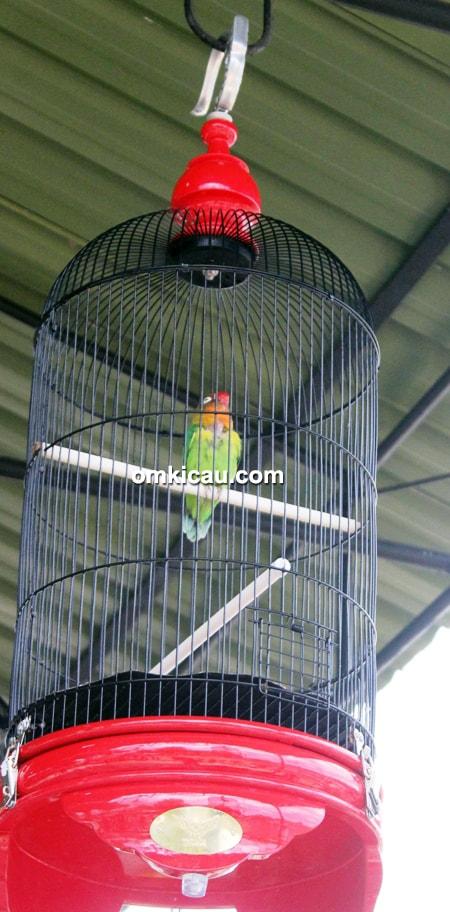 Lovebird Babone