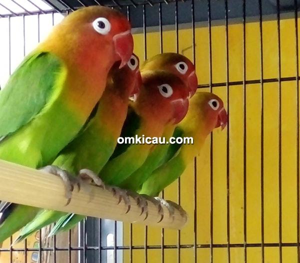 Buser SF Bird Shop-Lovebird impor dari Taiwan