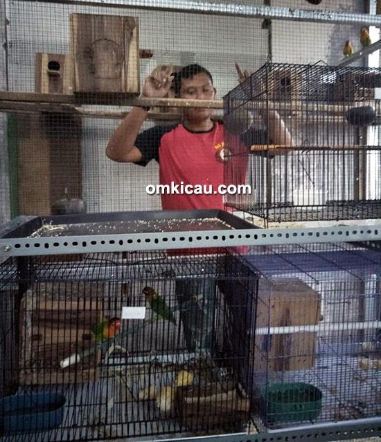 ternak lovebird baby prestasi