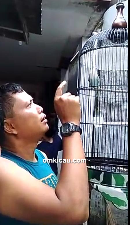 breeding lovebird baby