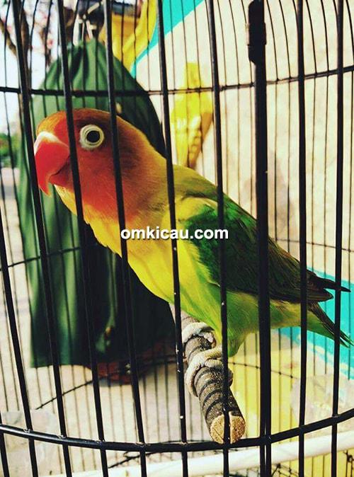 Lovebird Caissia