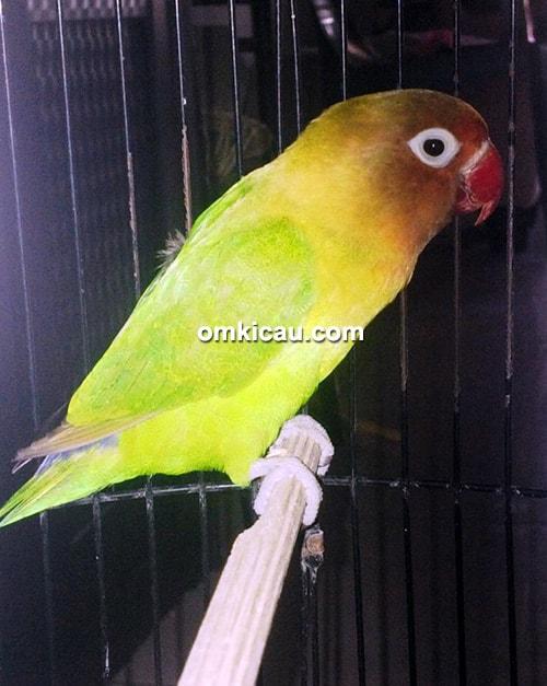 Lovebird Cantona