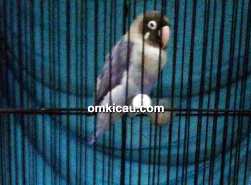 Lovebird Hanabi