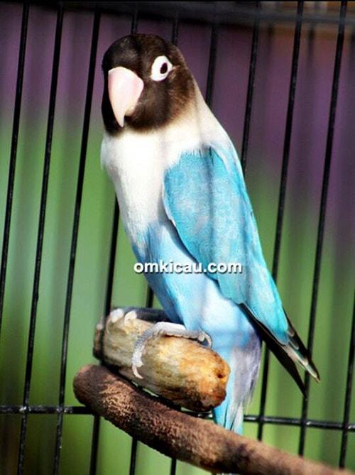 lovebird perso biru mangsi