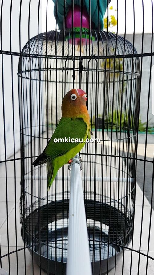 penangkaran lovebird Luwes BF