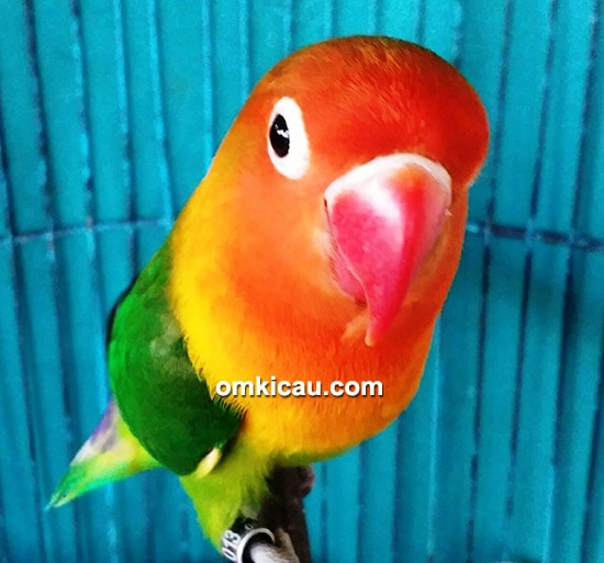 Lovebird Nirmala Jr 08