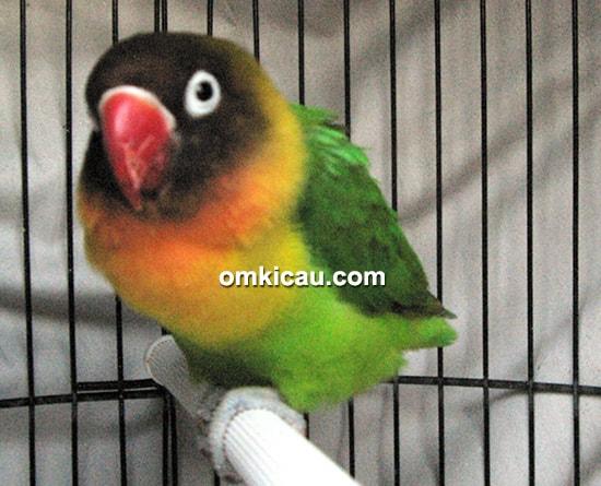 Lovebird Nyi Blorong