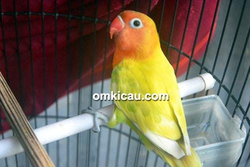 lovebird Ponirah