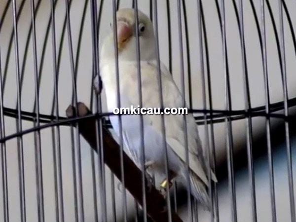 Lovebird Rossiddin