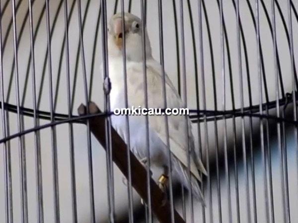 lovebird Rossidin