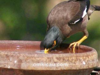Sebagian burung memiliki kebiasaan mencelupkan pakan ke dalam air minumnya
