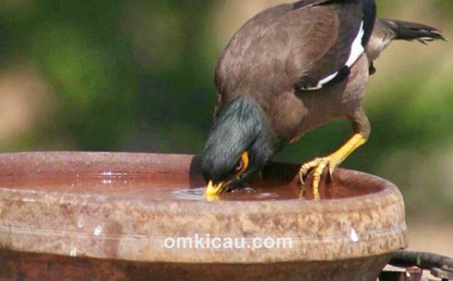 kebiasaan burung mencelupkan pakan di air minum