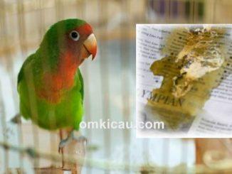 Tiga macam cara mengobati burung yang sakit diare