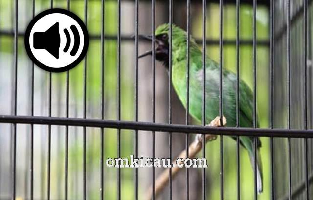 suara burung cucak ijo isian untuk masteran