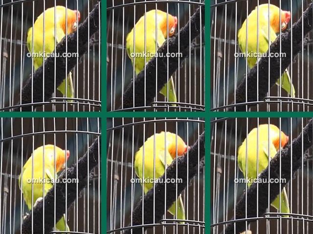 lovebird Aidan