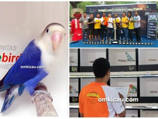lovebird beauty contest KLI Batavia Cup I