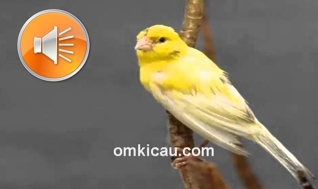 Suara burung kenari rusia