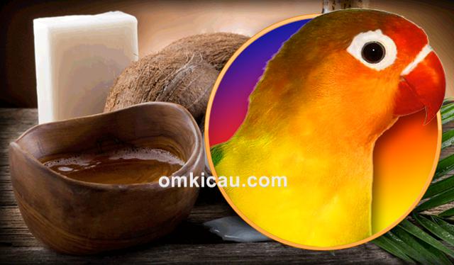 Manfaat minyak kelapa untuk burung kicauan