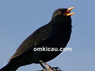 burung suara serak