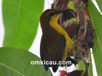 Mengenali perilaku berbiak burung-madu di alam dan kandang penangkaran