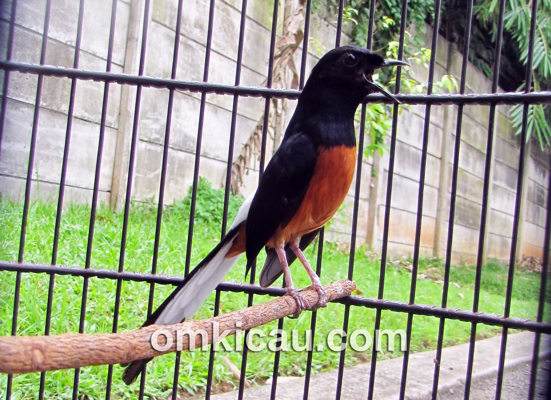 Ragam Suara Burung Murai Batu Full Isian Untuk Masteran Om Kicau