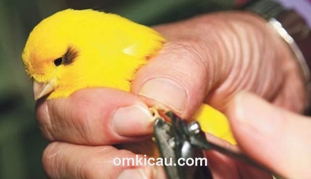 memotong kuku burung