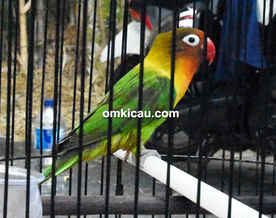 lovebird Omesh