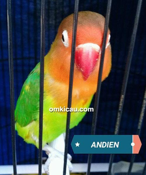 Lovebird Andien